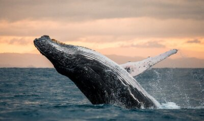 Sticker Jumping humpback whale over water. Madagascar. at sunset.