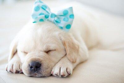 Sticker labrador puppy