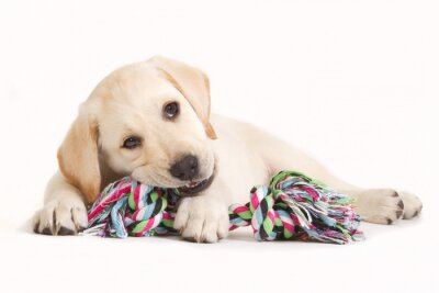 Sticker Labrador puppy biting in a coloured toy
