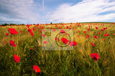 landscape of red coquelicots