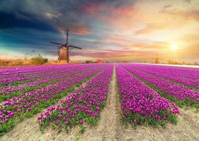 Sticker Landscape with tulips, traditional dutch windmills and houses near the canal in Zaanse Schans, Netherlands, Europe