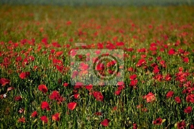 lanscape of coquelicot red