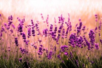 Sticker Lavendelfeld rot