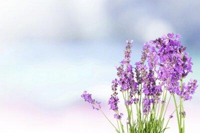 Sticker Lavender.