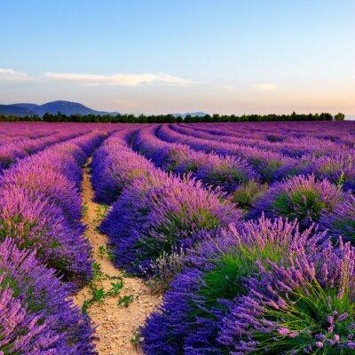 Sticker Lavender field