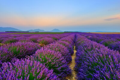 Sticker Lavender field at sunset