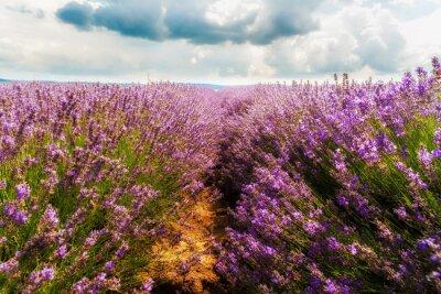 Sticker lavender field, Plateau de Valensole, Provence, France