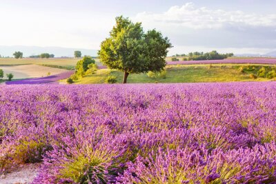 Sticker Lavender fields near Valensole in Provence, France on sunset