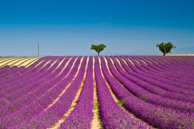 Sticker Lavender flower blooming scented fields