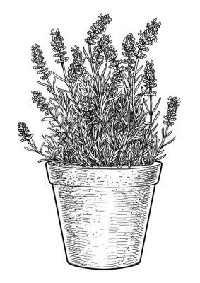 Sticker Lavender in pot illustration, drawing, engraving, ink, line art, vector
