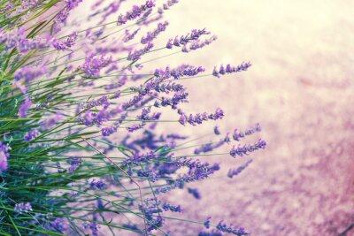Sticker Lavender in wild, toned