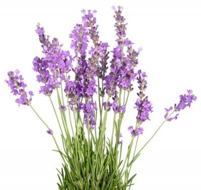 Sticker Lavender, Lavender Coloured, Flower.