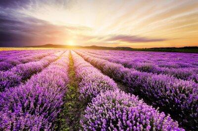 Sticker Lavender Sunrise