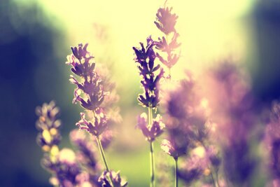 Sticker Lavender vintage sunset