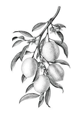 Sticker Lemon branch illustration black and white vintage clip art isolate on white background