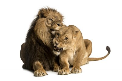 Sticker Lion and lioness cuddling, lying, Panthera leo, isolated