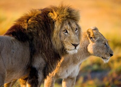 Sticker Lion and lioness in the savannah. Zambia.
