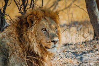 Sticker lion in africa