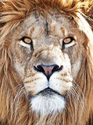 Sticker Lion (Panthera leo)