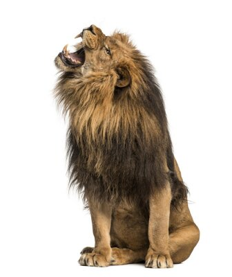 Sticker Lion roaring, sitting, Panthera Leo, 10 years old, isolated