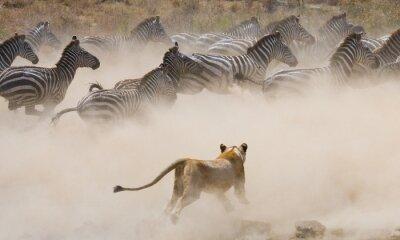 Sticker Lioness attack on a zebra. National Park. Kenya. Tanzania. Masai Mara. Serengeti. An excellent illustration.