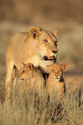 Sticker Lioness with young lion cubs (Panthera leo) in early morning light, Kalahari desert, South Africa.