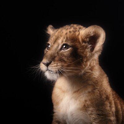 Sticker little lion cub  on black background