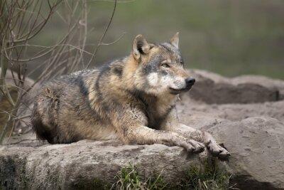 Sticker Loup gris