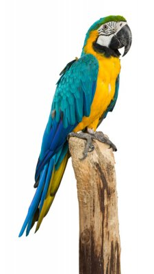 Sticker Macaw bird isolated on white background, clipping path