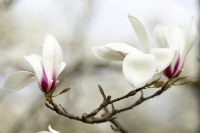 Sticker Magnolia.
