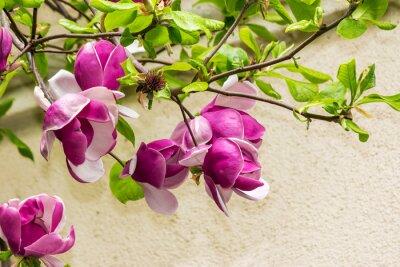 Sticker magnolia flowers on a blury background