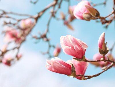 Sticker Magnolia tree blossom in springtime
