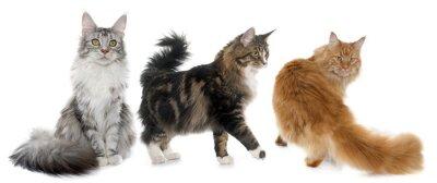 Sticker maine coon cats