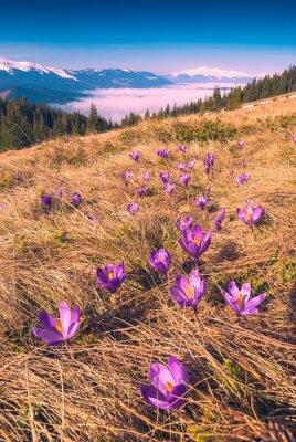 Sticker Many purple saffron flowers on a meadow
