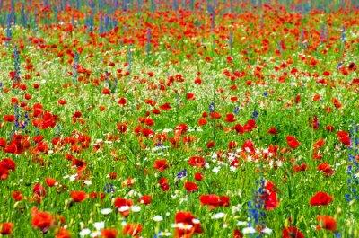 Sticker meadow with wild poppies