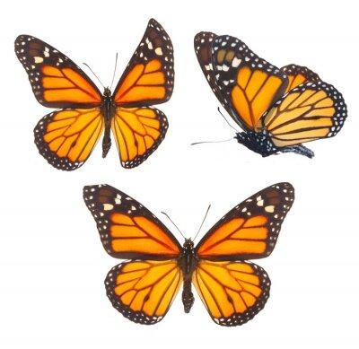 Sticker Monarch butterfly