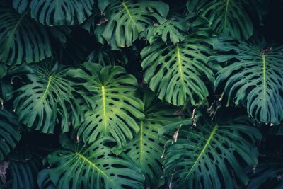 Sticker Monstera Philodendron leaves - tropical forest plant