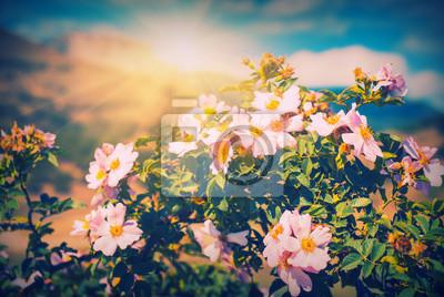 Mountain tea rose