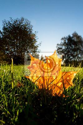 Sticker Orange leaf illuminated by backlight of morning sun