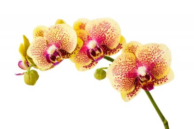 Sticker Orchid flowers isolated on white background.