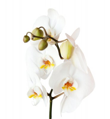 Sticker orchid, isolated on white background