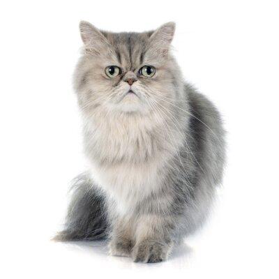 Sticker persian cat
