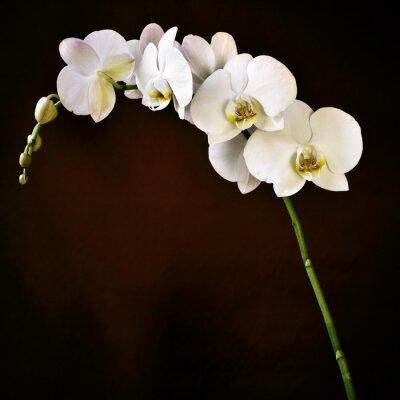 Sticker Phalaenopsis aphrodite orchid
