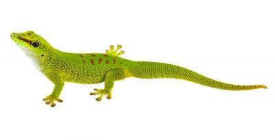 Sticker Phelsuma madagascariensis - gecko isolated on white