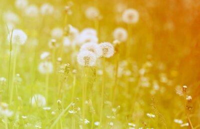 Sticker photo fluffy dandelions