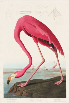 Sticker Pink Flamingo from Birds of America (1827) by John James Audubon (1785 - 1851 ), etched by Robert Havell (1793 - 1878)