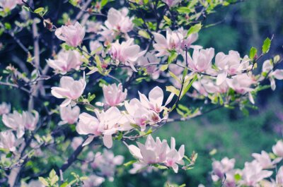 Sticker Pink magnolia flowers as a beautiful floral spring background (shallow DOF, retro style)