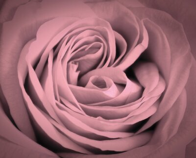Sticker Pink rose close-up background. Romantic love greeting card