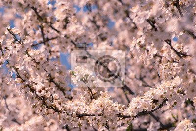 Plum flowers background_1
