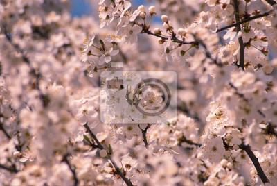 Plum flowers background